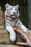 Tigre blanc Images stock