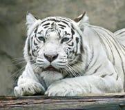 Tigre blanc 4 Photo libre de droits