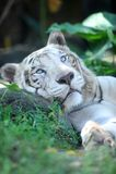 Tigre blanc Photos libres de droits