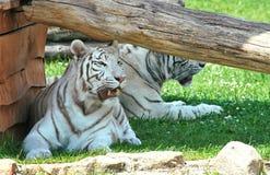 Tigre blanc Photos stock