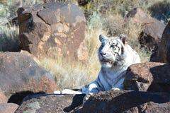 Tigre blanc image libre de droits