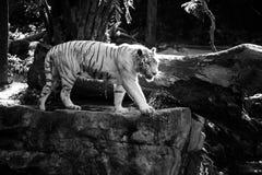 Tigre blanc Photographie stock