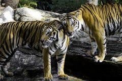 Tigre blanc Images libres de droits