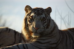 Tigre blanc au coucher du soleil photos stock