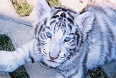 Tigre blanc de chéri dans les œil bleu Photographie stock