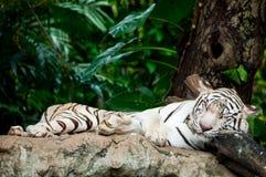 Tigre blanc de sommeil Photos stock