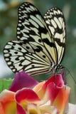 Papillon blanc de tigre Images libres de droits
