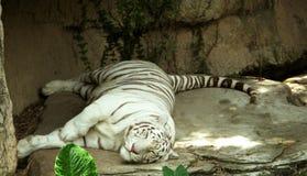 Tigre blanc faisant une sieste Photos libres de droits
