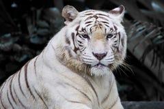 Tigre blanc masculin Image libre de droits
