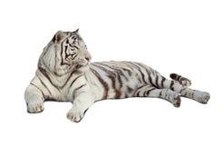Tigre blanc menteur. D'isolement au-dessus du blanc photographie stock
