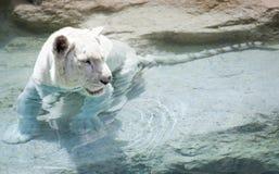 Tigre blanc près de l'eau Photographie stock