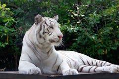 Tigre blanc sur le fond vert de brunch d'arbres image libre de droits