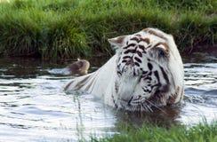 Tigre blanco Fotografía de archivo libre de regalías