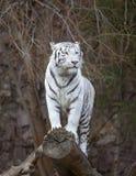 Tigre blanco Imagen de archivo libre de regalías