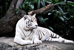 Tigre blanco Fotos de archivo libres de regalías
