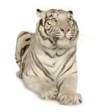 Tigre blanco (3 años) Foto de archivo libre de regalías