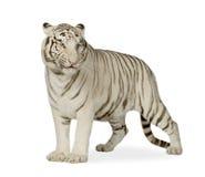 Tigre blanco (3 años) foto de archivo