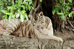 Tigre blanco. Fotos de archivo