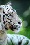 Tigre blanco Imagenes de archivo