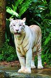 Tigre blanco Imagen de archivo