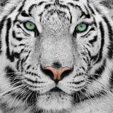 Tigre blanco Fotografía de archivo