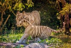Tigre blanco adulto y su bebé en el parque zoológico en color del verano fotografía de archivo