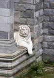 Tigre blanco de Benagal Imagenes de archivo