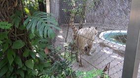 tigre blanco del bengala de 4K A que marca el territorio con pis detrás de una malla metálica metrajes