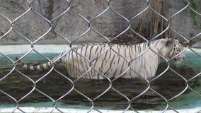 tigre blanco del bengala de 4K A tomar un baño en agua de una charca en el verano en el parque zoológico metrajes