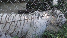 tigre blanco del bengala de 4K A wallking detrás de una malla metálica en el parque zoológico almacen de metraje de vídeo