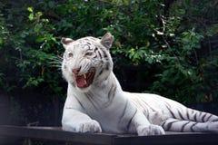 Tigre blanco del tigre travieso en el fondo verde del brunch de los árboles Foto de archivo libre de regalías