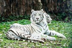 Tigre blanco en el chiangmai Tailandia del nightsafari Foto de archivo libre de regalías