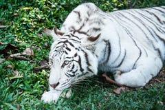 Tigre blanco en el chiangmai Tailandia del nightsafari Fotos de archivo