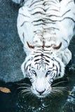Tigre blanco en el chiangmai Tailandia del nightsafari Imagen de archivo libre de regalías