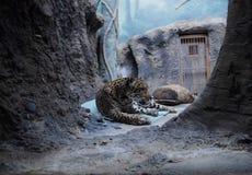 Tigre blanco en el parque zoológico Imagenes de archivo