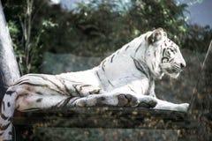 Tigre blanco en el parque zoológico fotos de archivo