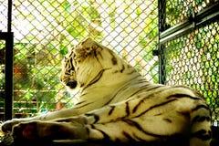 Tigre blanco en la jaula Fotos de archivo libres de regalías