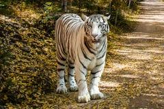 Tigre blanco en la naturaleza Imagenes de archivo