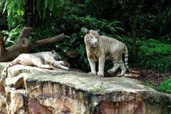 TIGRE BLANCO en una roca en parque zoológico Imagen de archivo