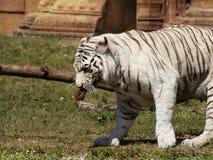 Tigre blanco hambriento Imágenes de archivo libres de regalías