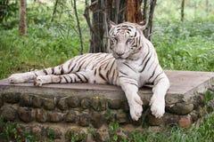 Tigre blanco indio que se relaja Imagen de archivo
