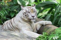 Tigre blanco medio dormido imagen de archivo libre de regalías