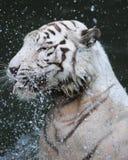 Tigre blanco que juega con agua Imágenes de archivo libres de regalías