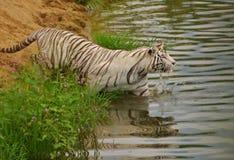 Tigre blanco que nada Imágenes de archivo libres de regalías