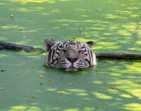 Tigre blanco que oculta en el agua del calor imágenes de archivo libres de regalías