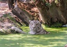 Tigre blanco que oculta en el agua del calor imagen de archivo
