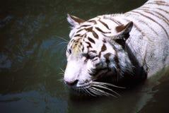 Tigre blanco raro Imagenes de archivo