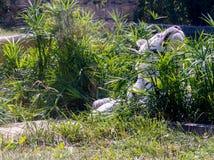 Tigre blanco, tigre de Bengala foto de archivo libre de regalías