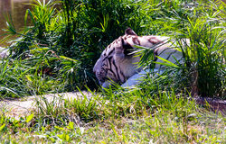 Tigre blanco, tigre de Bengala imagen de archivo libre de regalías