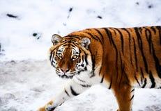 Tigre bonito de Amur na neve Tigre na floresta do inverno fotos de stock royalty free